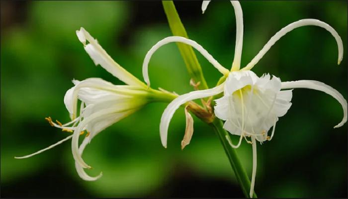 Lirios flores