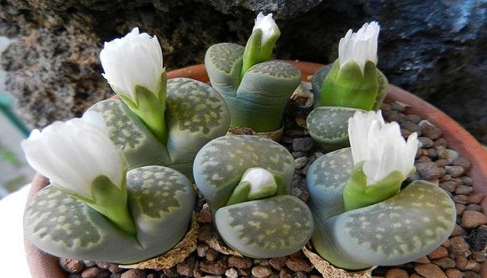 Las plantas Lithops