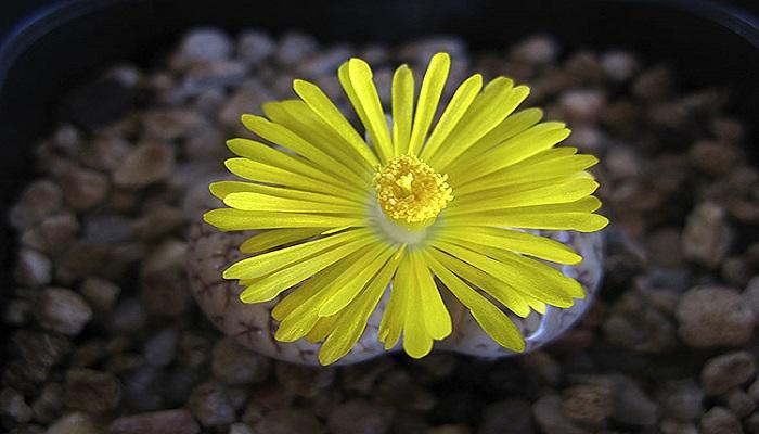 Flor de una planta Lithops