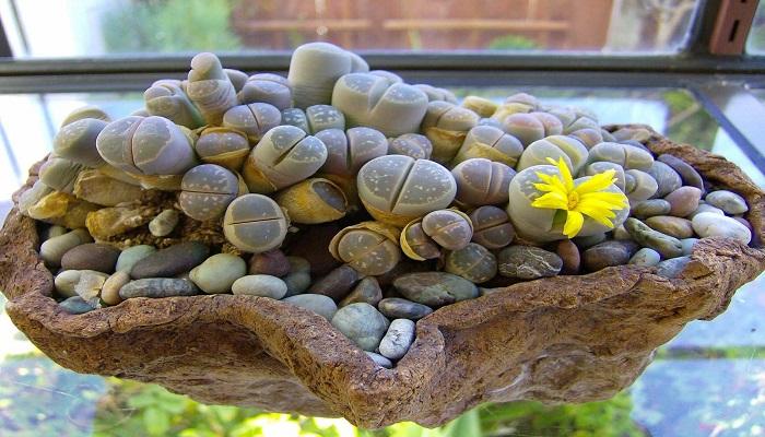 Ubicación de las plantas Lithops