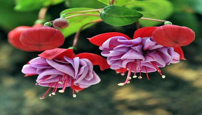 Pendientes de la reina variedad Fuchsia Triphylla