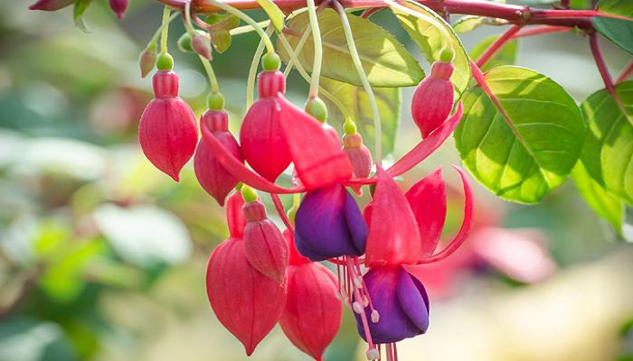 pendientes de la reina variedad Fuchsia magellanica