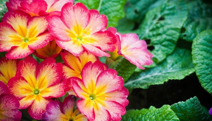 Primula flor