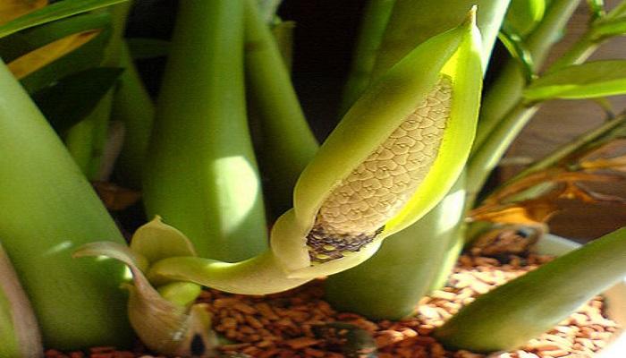 Inflorescencia de Zamioculcas