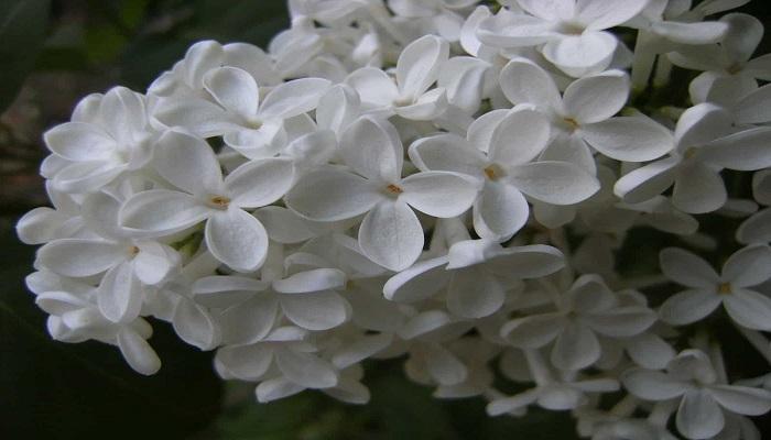 Cuándo florecen las Lilas