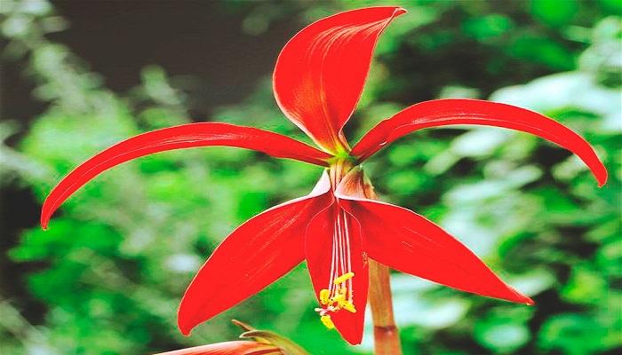 La flor de Lis