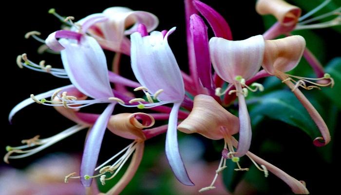 Floración de Madreselvas
