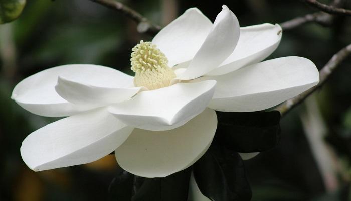Las Magnolias