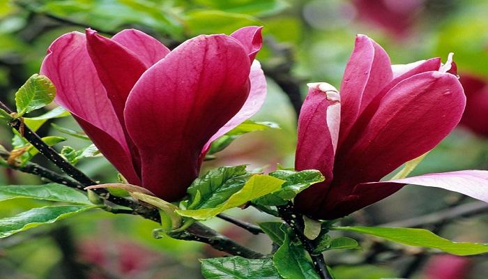 Magnolias liliiflora