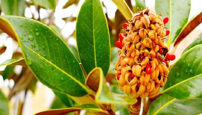 Frutos de Magnolias