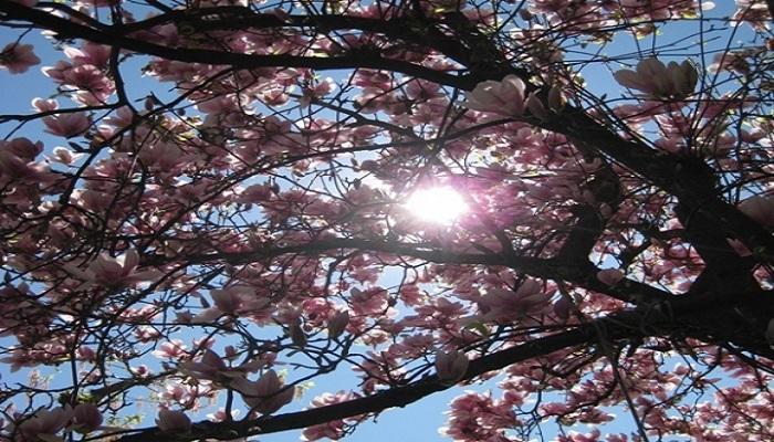 Cuándo podar las Magnolias