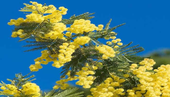 Planta de Mimosa