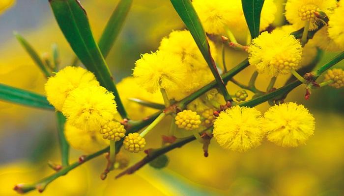 Significado de la Mimosa