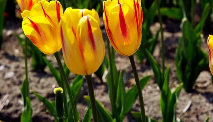 Dónde viven los Tulipanes