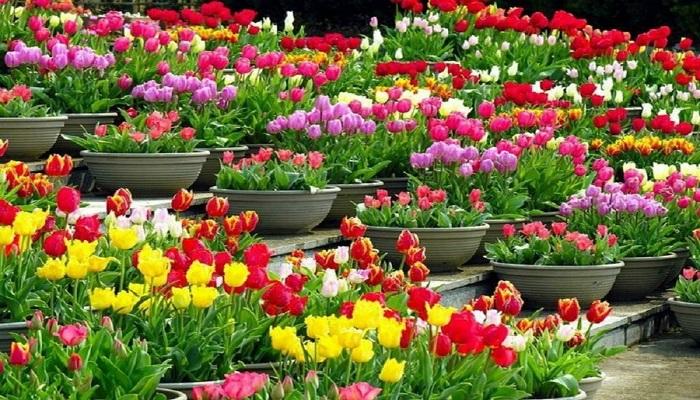Cómo cultivar Tulipanes