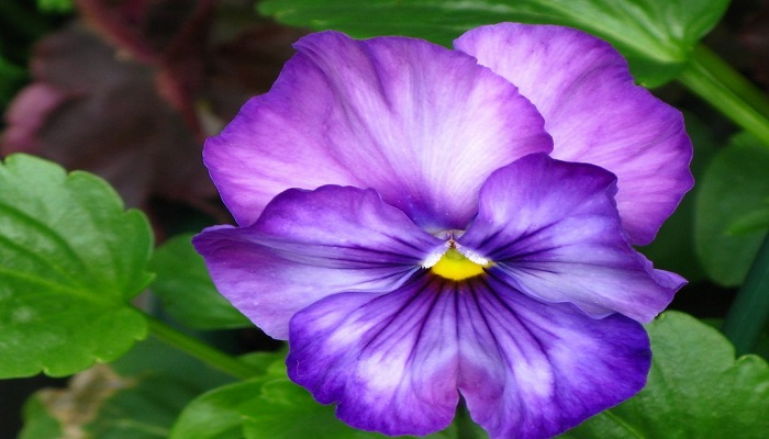 Flores de Violetas