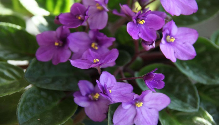 Usos de las Violetas