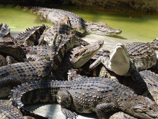 soñar con cocodrilos en casa
