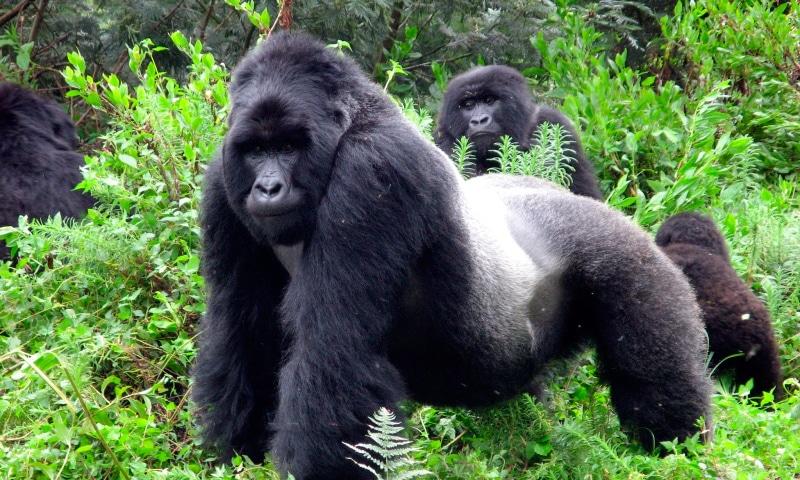 soñar con gorilas blancos