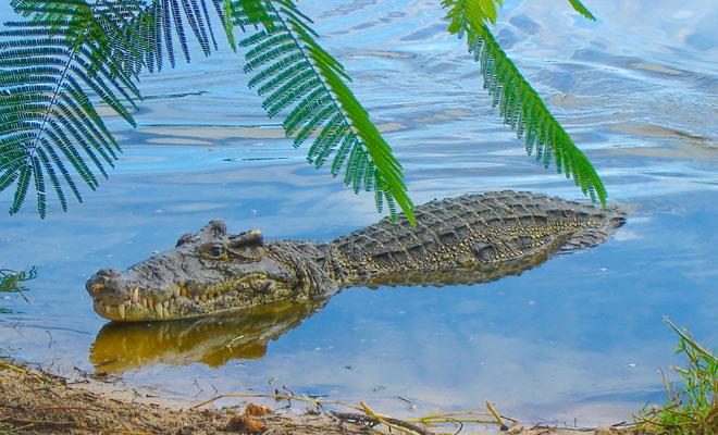 soñar con cocodrilos en agua sucia