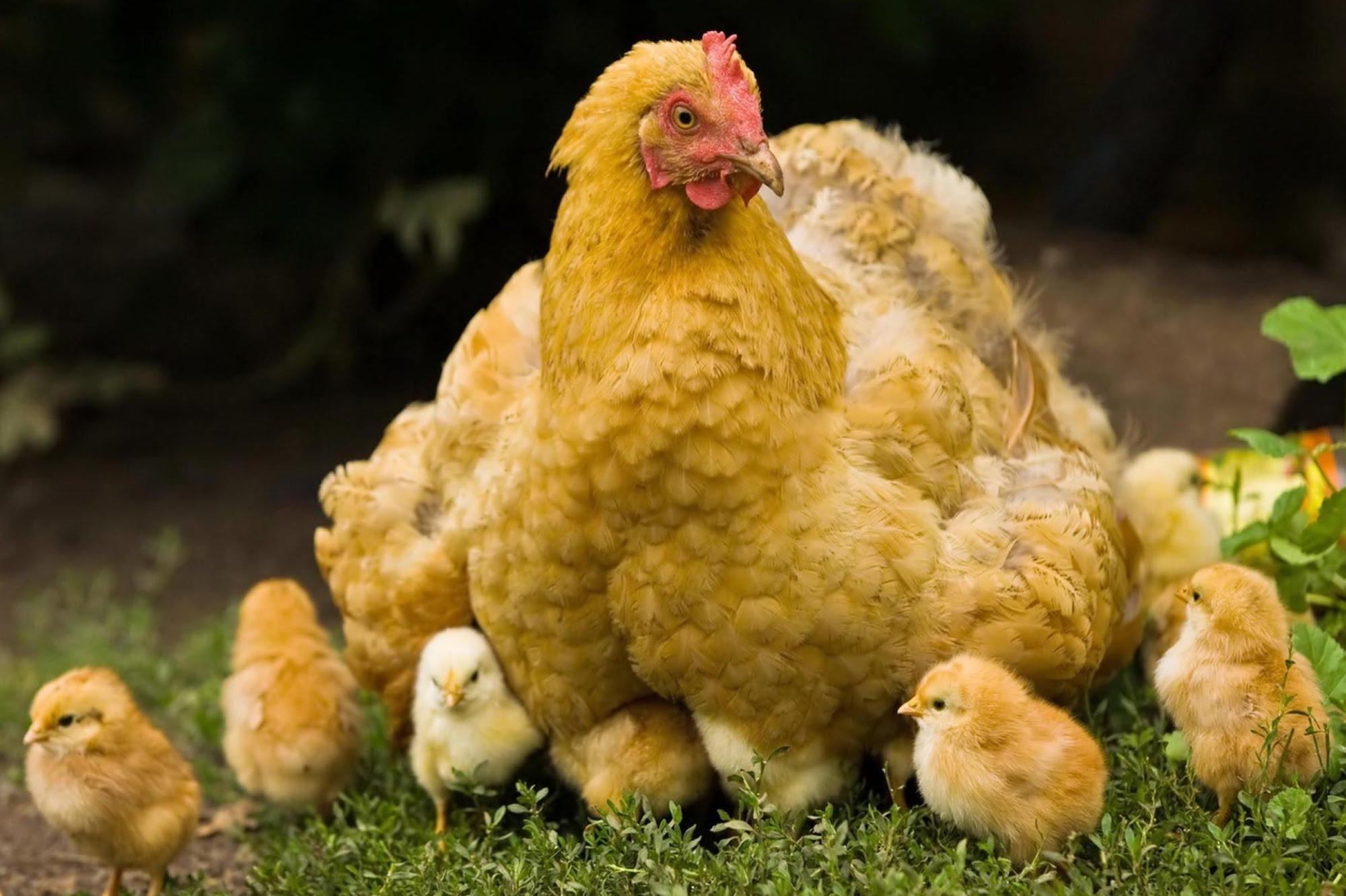 soñar con pollitos y gallinas
