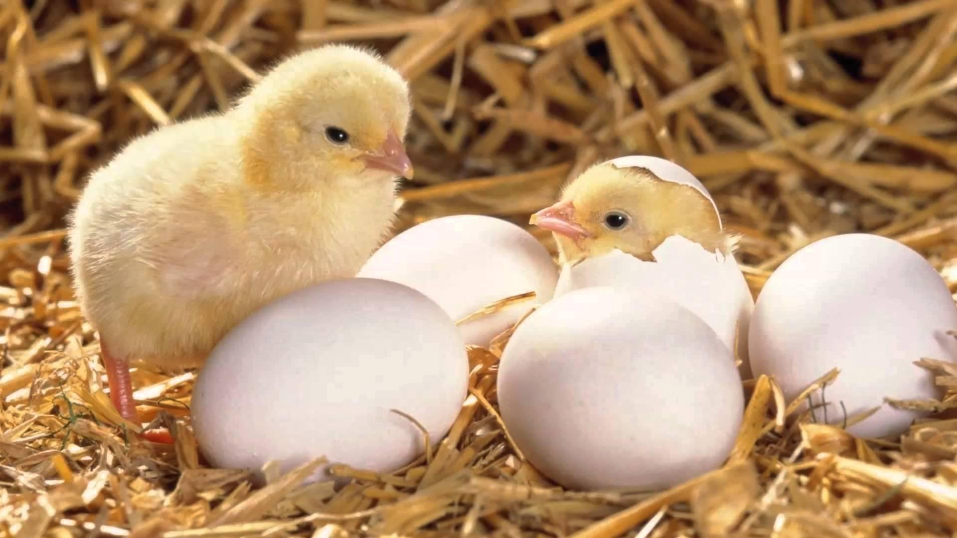 soñar con pollitos amarillos bebes