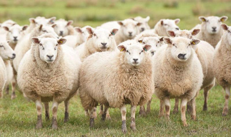 soñar con ovejas psicoanalisis