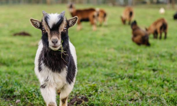 soñar con cabras marrones