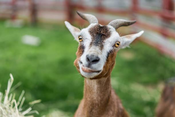 soñar con cabras que atacan