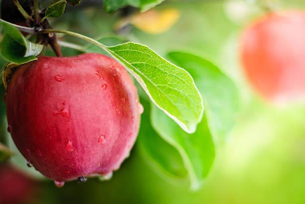 soñar con arbol manzanas