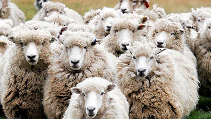 soñar con ovejas muertas