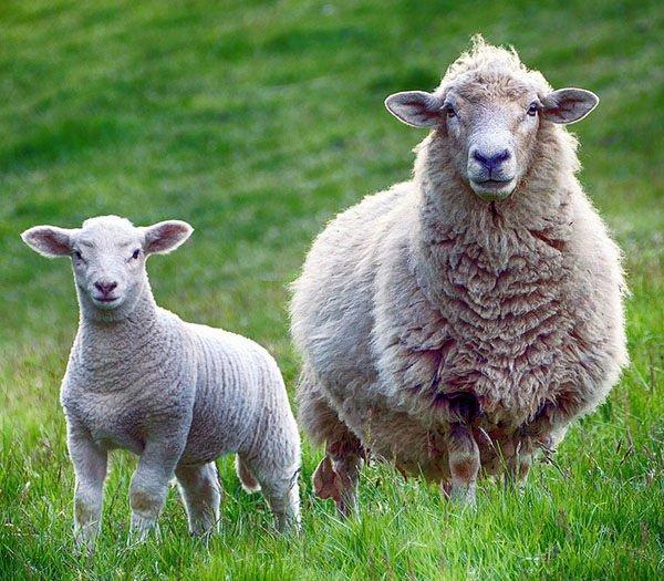 soñar con ovejas negras