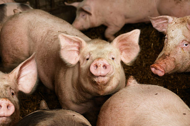soñar con cerdo pequeño