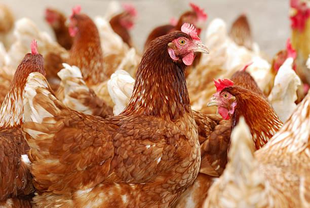 soñar con gallinas marrones