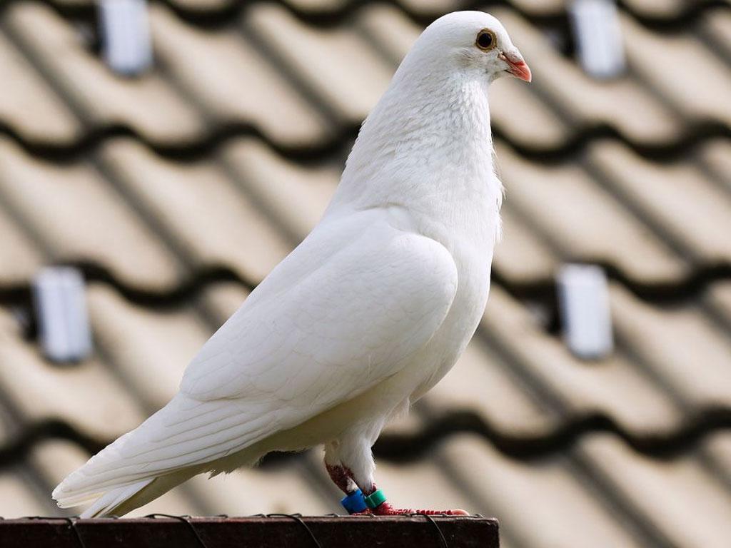 soñar con palomas en casa
