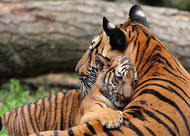soñar con tigres pequeños