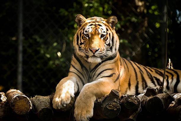 soñar con tigres y leones