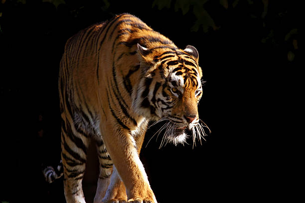 soñar con tigres que significa
