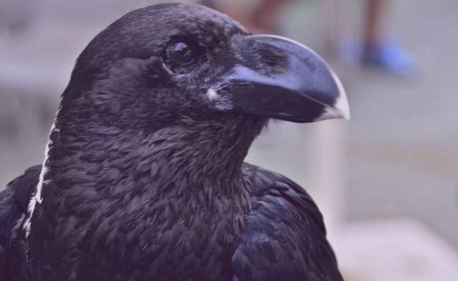 soñar con cuervos muertos
