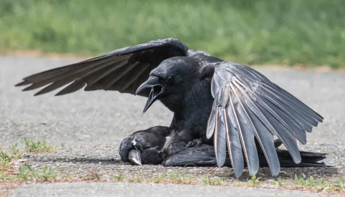 soñar con cuervos misabueso