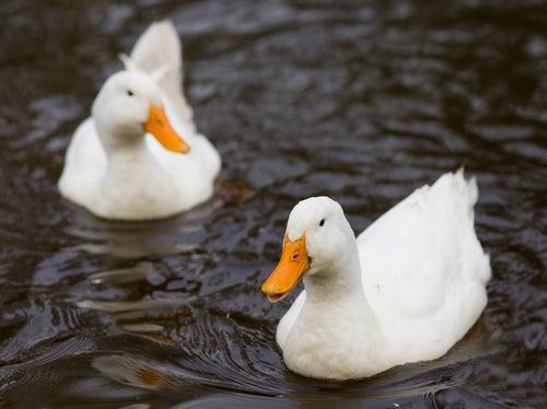 soñar con patos salvajes