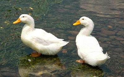 soñar con patos muertos