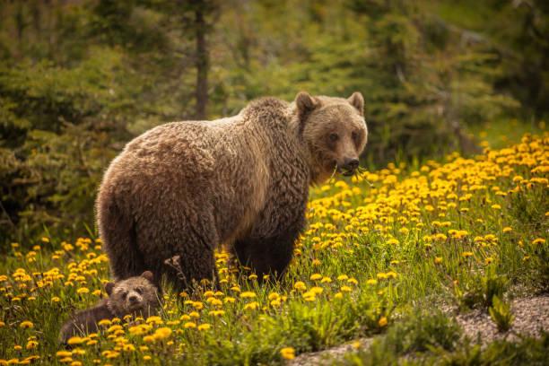 soñar con osos que atacan