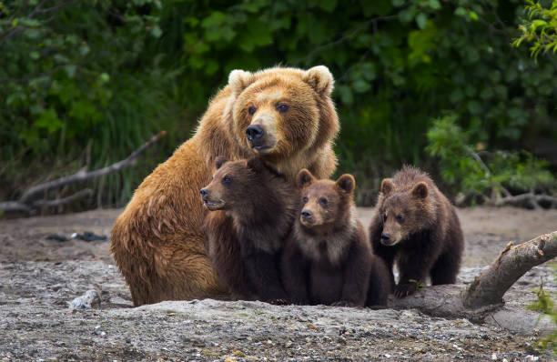 soñar con osos pardos