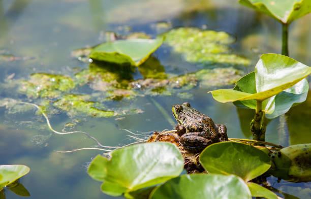soñar con ranas nadando