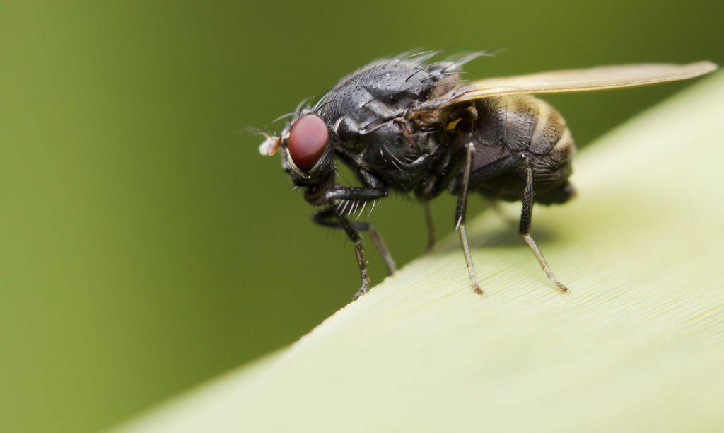 que significa a soñar con moscas