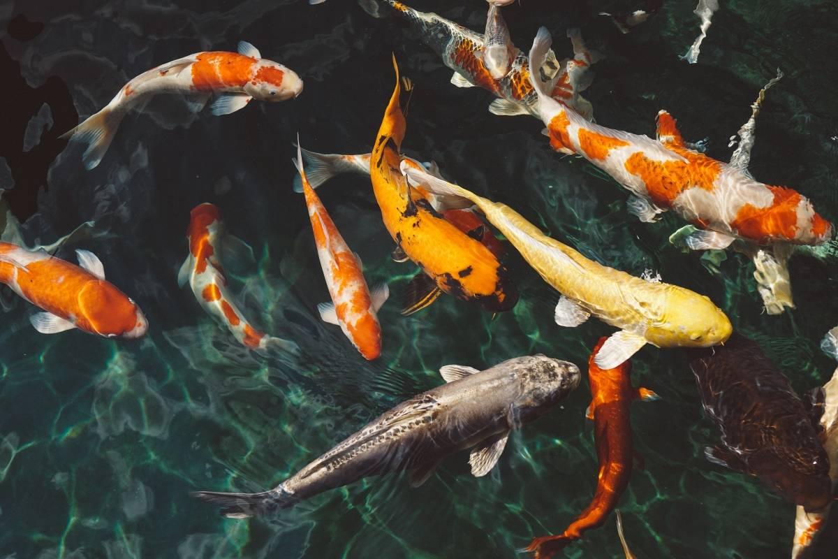 soñar con peces koi