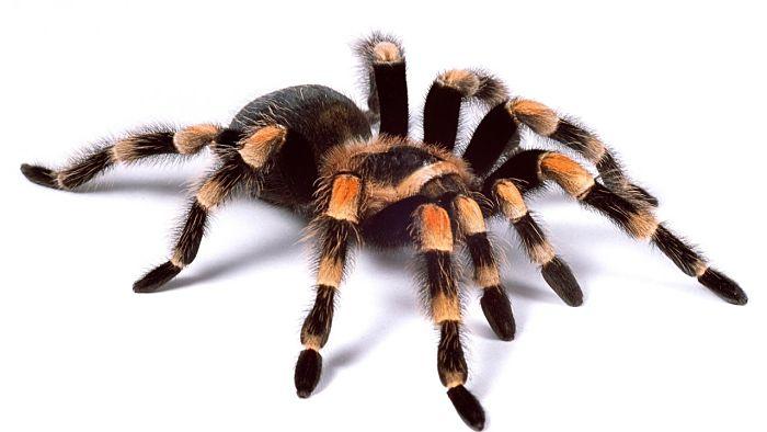 soñar con araña tarantula significado