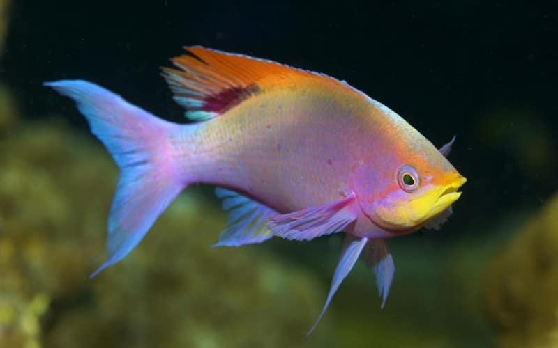 soñar con peces dorados