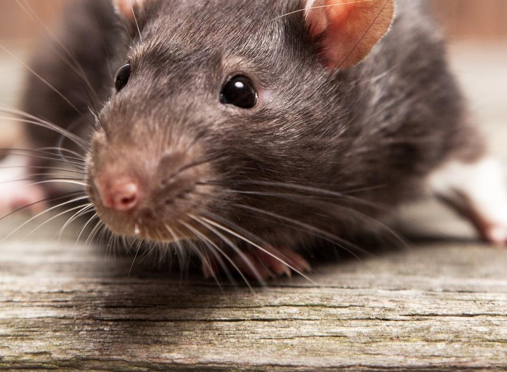 soñar con ratas atrapadas